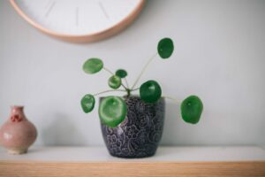 plante verte intérieur Pilea Peperomioides